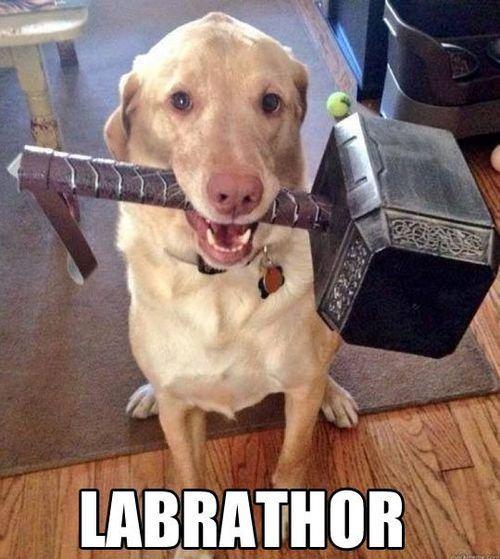 Labrathor os da los buenos días con un poquito de humor, porque así el Lunes es mejor!Si vuestro perro necesita algo ya sabéis que estamos online para atender vuestras peticiones.www.mascoweb.es   #labrador #perro #perros #mascotas #mascoweb