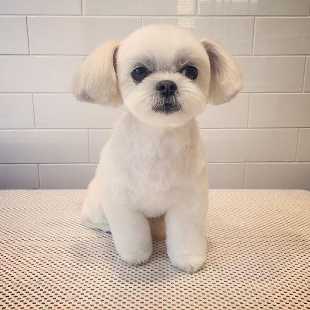 サクラはいつも綺麗です✨シャンプーの必要がないくらい笑 Y.サクラちゃん #トリミング #トリミングサロン #グルーミング #カット #ペットホテル #REDOG #リドック #東京 #羽村 #福生 #青梅 #瑞穂 #あきる野 #犬 #愛犬 #わんこ #ペット #dog #dogs #grooming #groomer #pet #dogstagram #doglovers #instadog #シーズー #shihtzu #ミックス犬