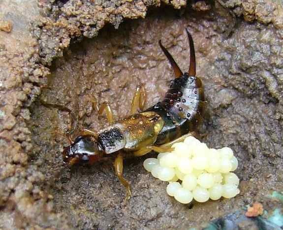 Here's everything you wanted to know about how to control earwigs including the fact that they're major pest predators and good guys in the home garden