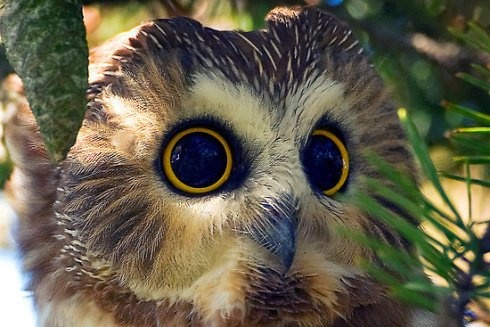 The Northern Saw-whet Owl (Aegolius acadicus) is a small owl native to North America. Adults are 20 cm long with a 43 cm wingspan. They weigh 2.8oz (80 grams), making them one of the smallest owls in North America.