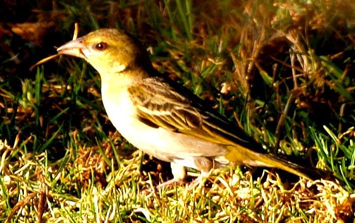 Safari bird the colours of the grass