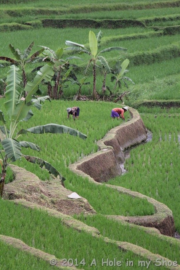 Another photo on the What's Hot list on Trover  Jatiluwih Rice Terrace, Penebel, Indonesia — by A Hole in my Shoe. Hard at work tending to the rice crops