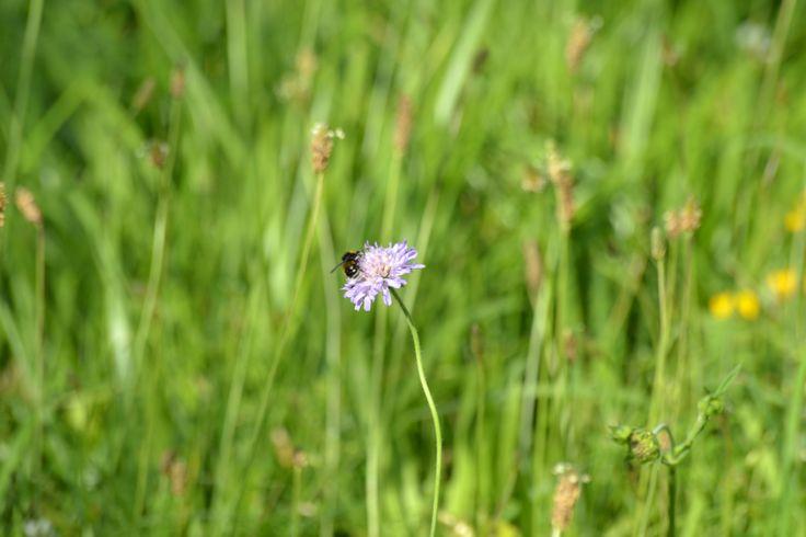 abeille butine une fleur des champs