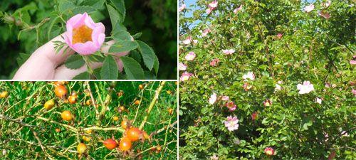 rosa canina - Stenros