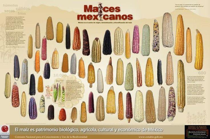 La mayor diversidad del maíz es mexicana, con 64 razas en el país, de las 220 existentes en América Latina.