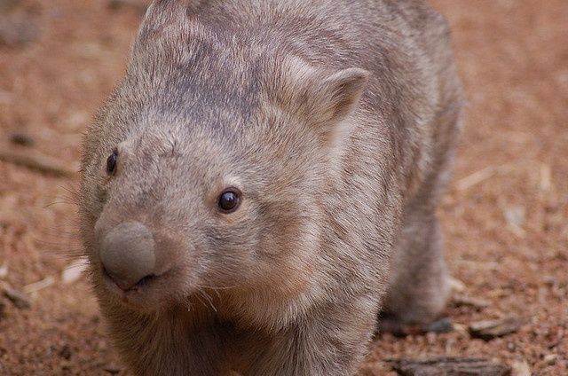 47. Common wombat: 'It's an ignominious fate for any predator: crushed to death by your prey's backside. But that's the risk of pursuing a wombat into its burrow. This thickset marsupial has a reinforced rump, and it's not afraid to use it.' Read more in 100 Bizarre Animals www.bradtguides.com