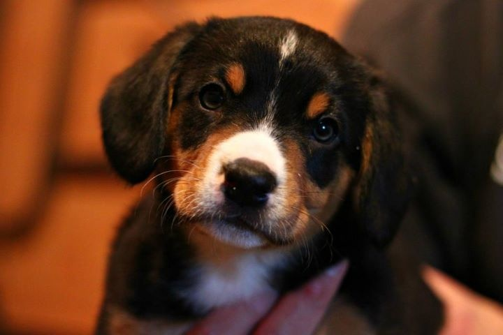 Best 25+ Entlebucher mountain dog ideas on Pinterest ...