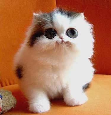 sphynx cat temperament
