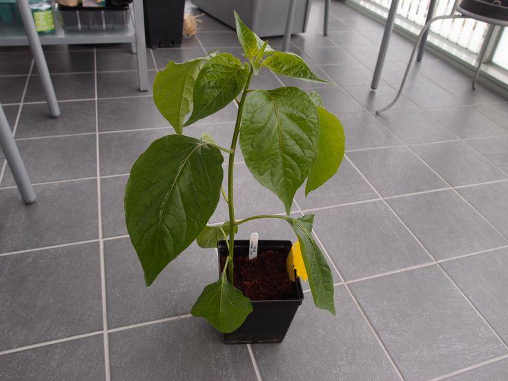 Hot Lemon chili pepper. Capsicum baccatum.