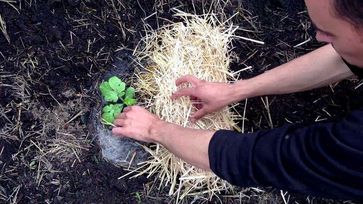 Секреты высадки арбузов / Выращивание арбузов / Как правильно высадить а...