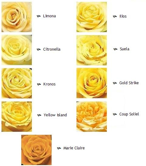 Yellow Rose Varieties
