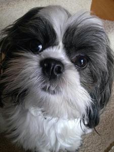 Lost Dog - Lost shiz tzu- Frankfort, IL  http://missinglostdogs.com/product_services/lost_shiz_tzu-_frankfort_il_328