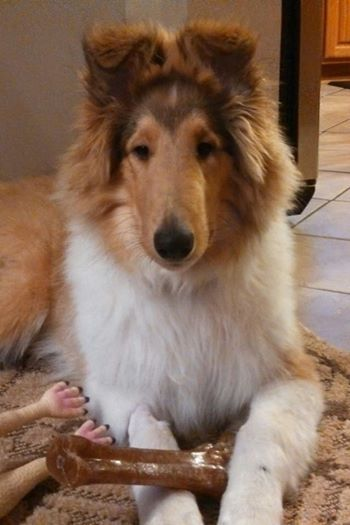 Rough collie with bone