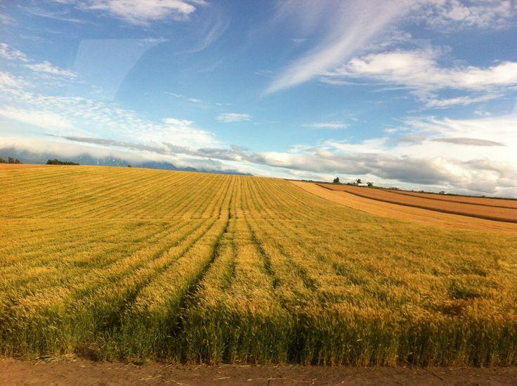 Biei Barley Fields