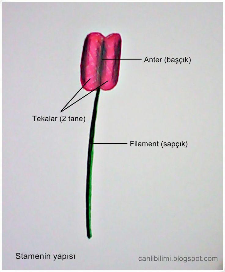 Çiçeklerde erkek üreme organı, Stamen: Bir stamen temel olarak iki yapıdan meydana gelir. Bunlar anter ve filament olarak adlandırılan kısımlardır. Bitkinin tür özelliklerine göre, çiçekteki stamen sayısı değişebilmektedir. Bir çiçekteki tüm stamenlere ortak olarak andrekeum ismi verilir.