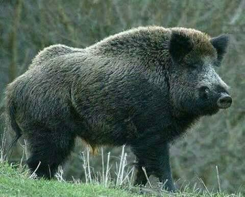 This is my pet boar. His name is Peatry.
