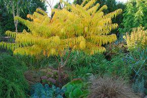 Der Essigbaum (Rhus typhina ) wächst schnell, bleibt aber trotzdem kompakt und zählt ohne Zweifel zu den schönsten Herbstfärbern. Die Sorte 'Tiger Eyes' (Foto) bleibt noch etwas kleiner als die Wildart und bildet auch weniger Ausläufer