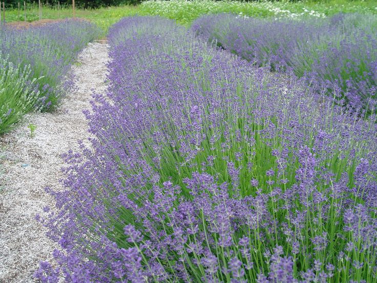 Our Lavender rows at Lovegrass Farm.