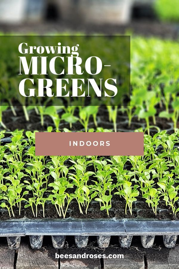 5 Ridiculously Easy Ideas For Growing Microgreens Indoors