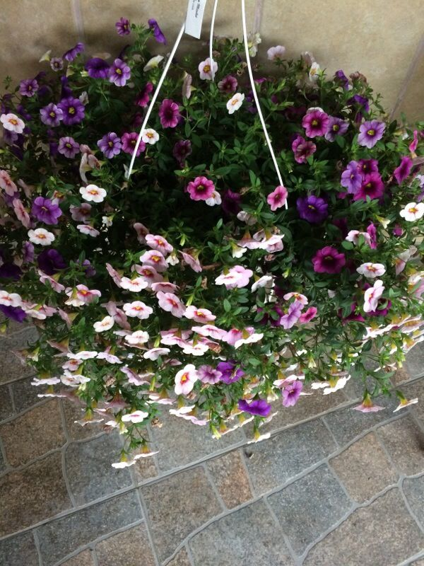 Calibrachoa (calibrachoa): This is likely a Calibrachoa, similar in appearance to the closely-related petunia, but with smaller flowers and foliage that is not as sticky. It grows best in full sun with regular moisture; feed with a slow release or organic fertilizer formulated for blooming container plants.  Regular deadheading promotes continued bloom. Generally speaking, calibrachoas do best in containers, while petunias would be the better choice in open ground.