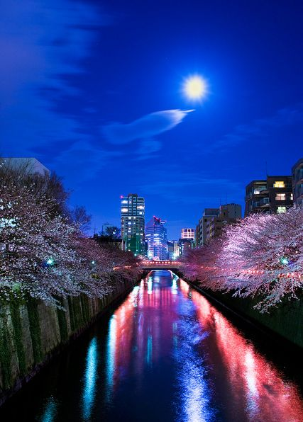 cherry blossoms over the river in Meguro, Tokyo, Japan