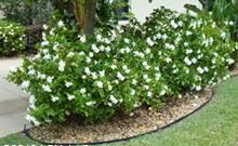 'Frostproof' Gardenia. Louisiana Superplant. Evergreen shrub. Full sun to part shade. Grows 5' tall by 4' wide. Space 4' apart. This evergreen shrub produces fragrant, double, velvety white flowers heavily in May and then sporadically through the summer.