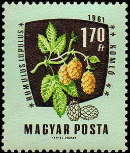 Hungary, 1961. Humulus lupulus.