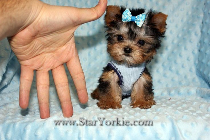 Photos for Star Yorkie - Teacup & Toy Puppies for Sale | Yelp