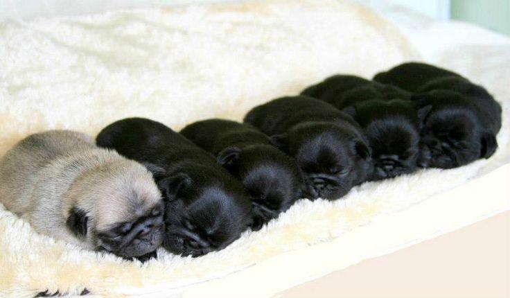 Mini pug loafs