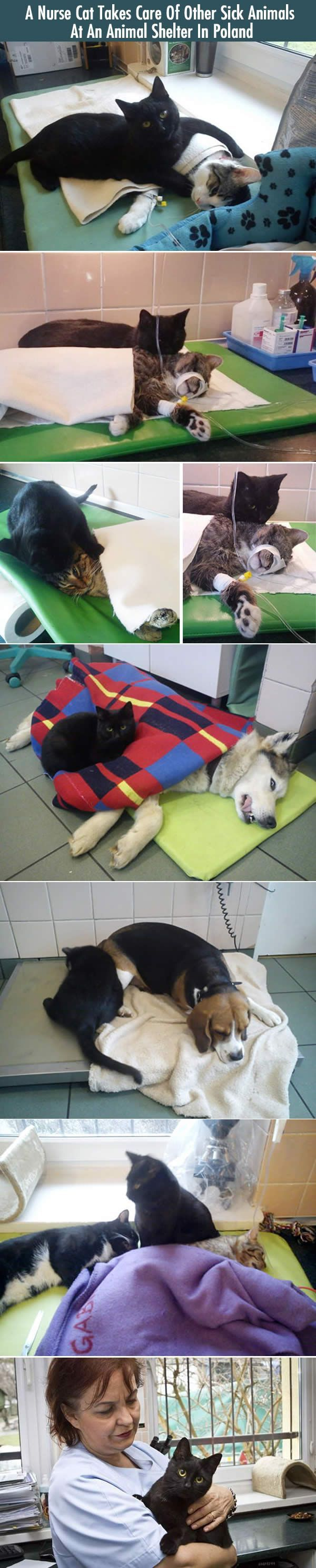 This Incredible Nurse Cat Takes Care Of Other Sick Animals At A Polish Shelter