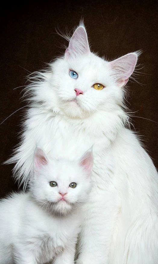 Maine Coon mother and daughter | Robert Sijka