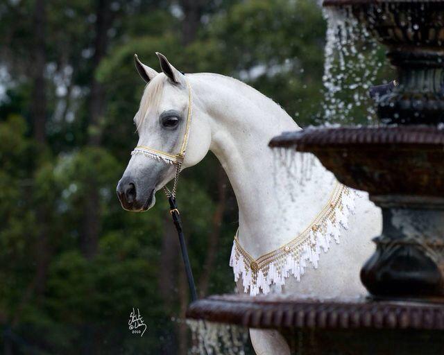 #ArabianHorses | Arabians ~~ | Pinterest | Horse, Animal ...