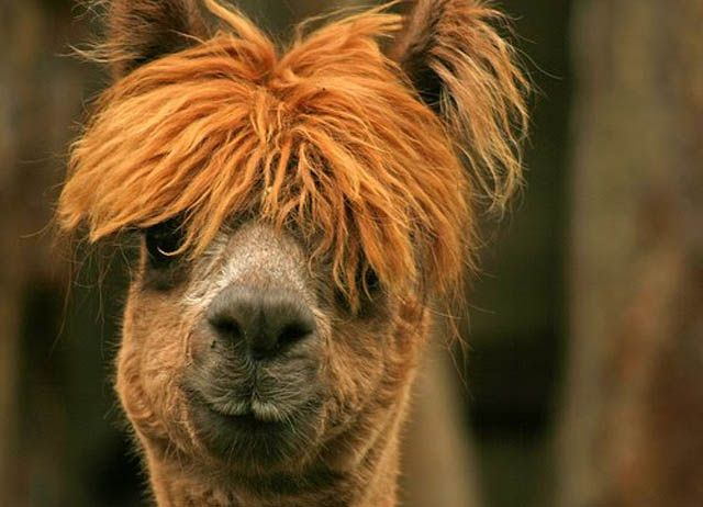 Best Hairstyles Alpaca Inspired Images On Pinterest Alpacas - 22 hilarious alpaca hairstyles