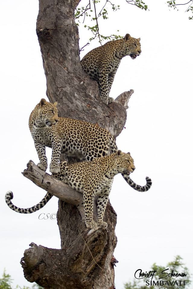 Leopardess Nthombi and her twin cubs up a tree at Simbavati River Lodge, SA by Christof Schoeman Wildlife Photography