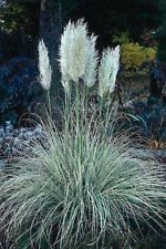 Pampas Grass (Cortaderia selloana) - white- 100 seeds