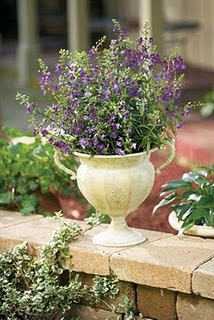 Proven Winners says they are DEER RESISTANT....so go plant Blue or Dark Violet Angelonia with Euphorbia Diamond Frost for a luscious, deer resistant combination.: Flowers Gardens, Plants Blue, Dark Violets, Angelfac Blue, Gardens Blog, Euphorbia Diamonds, Diamonds Frostings, Deer Resistance So, Gardens Plants