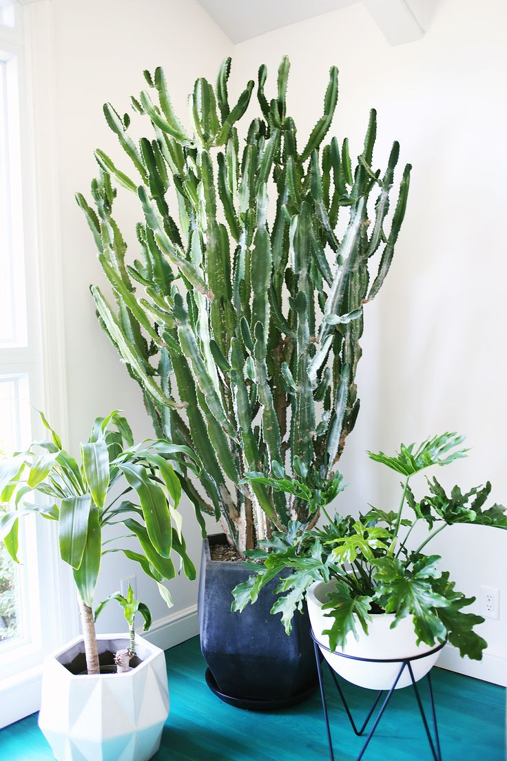 best 20+ tall cactus ideas on pinterest | cactus, indoor cactus