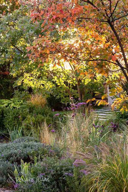 Geniesser-Garten - gravel garden - Kupferfelsenbirne Felsenbirne - Amelanchier l. mit Herbstfärbung. Darunter das Beet im New German Style mit vielen Gräsern, Allium, Verebenen und Lavendel. Die !Kupferfelsenbirne ist ein sehr schoenes und robustes Gehoelz im Garten!