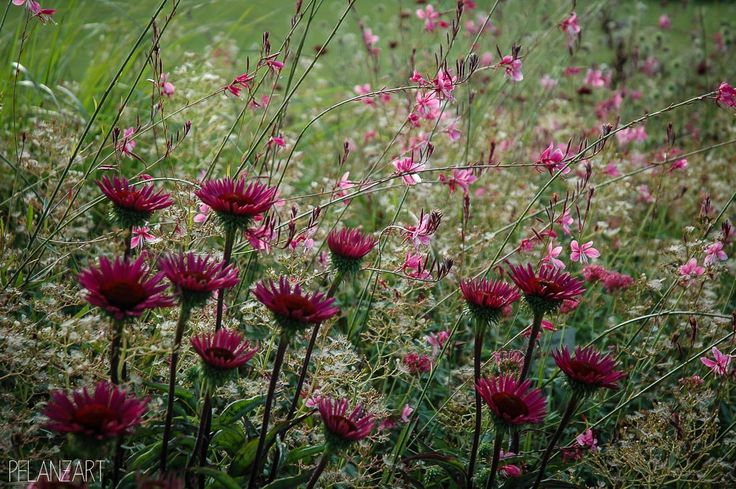 Echinacea purpurea 'Fatal Attraction' with Gaura lindheimeri 'Siskiyou Pink'
