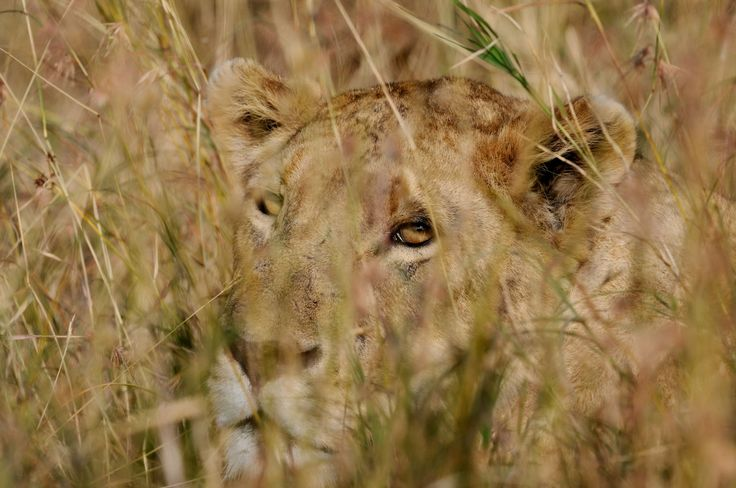 Photography - relaxed lioness in Ngorongoro Crater, Tanzania