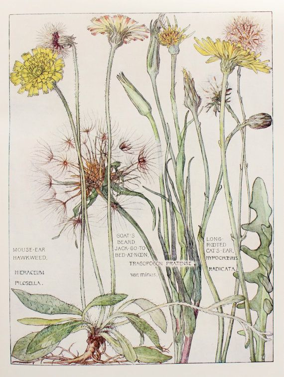 1910 Botanical Print by H. Isabel Adams: Daisy by PaperPopinjay