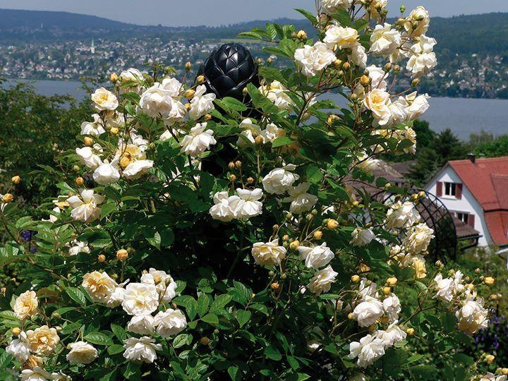 'Ghislaine de Féligonde' ist ein kleinblumiger und sehr zuverlässiger Multiflora-Rambler. Die Knospen- und insbesondere die Blüten-Farben dieser wunderschönen Rose variieren stark. Erkennbar sind pastellfarbene Nuancen von Crème-Weiss Elfenbein Zartgelb helles Apricot zartes Orange Rosa- und Lachs-Töne sowie Orangegelb in den Staubgefässen. Ein regelrechte Farben-Spektakel! Das Bild aufgenommen im Garten von Kasimir Magyar hoch über dem Zürich-See rankt die Rose spiralenförmig um den runden…