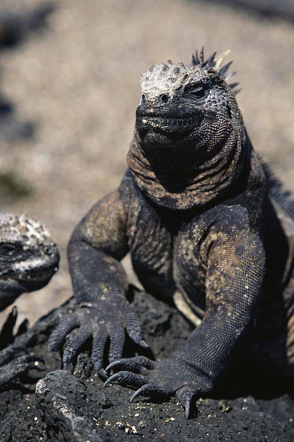 Galapagos land IguanaIslands Iguana, Galapagos Iguana, Land Iguana, Dinosaurs, Steve Winter, Galapagos Land, Galapagos Islands, Travel Guide, Marines Iguana