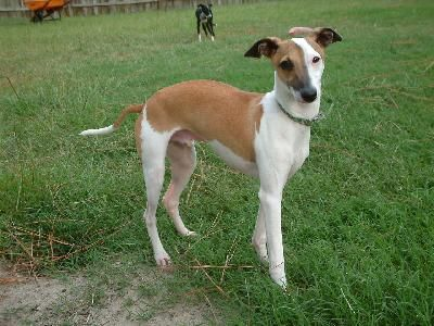 italian greyhound | Italian Greyhound Dog Breeders Profiles and Pictures | Dog Breeders ...