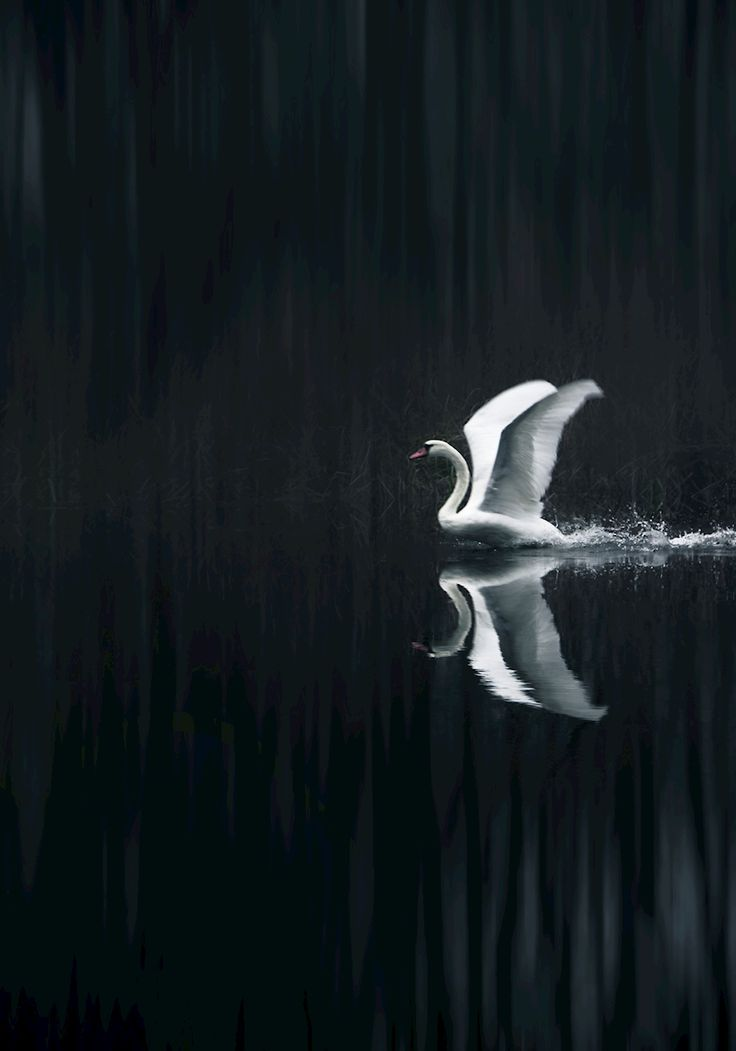 Daniel Nilsson - Lyft. Black and white image of a swan preparing to take off. Available as poster and laminated picture at Printler, the marketplace for photo art.