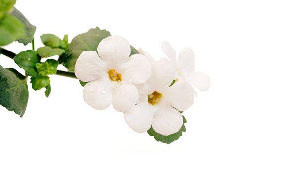 Le bacopa, appelé communément brahmi, est une plante utilisée depuis près de 3000 ans dans la médecine ayurvédique (médecine traditionnelle indienne). Il possède de nombreuses vertus dont celle d'aider à augmenter la résistance de l'organisme en cas de stress.