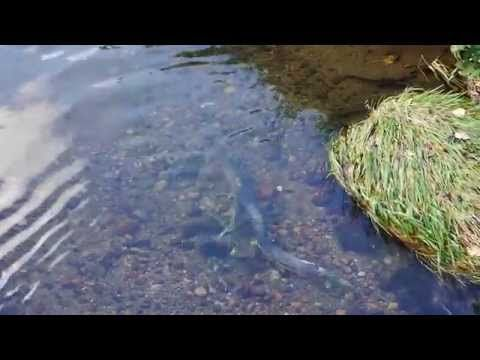 The salmon are back! — Vancouver Is Awesome