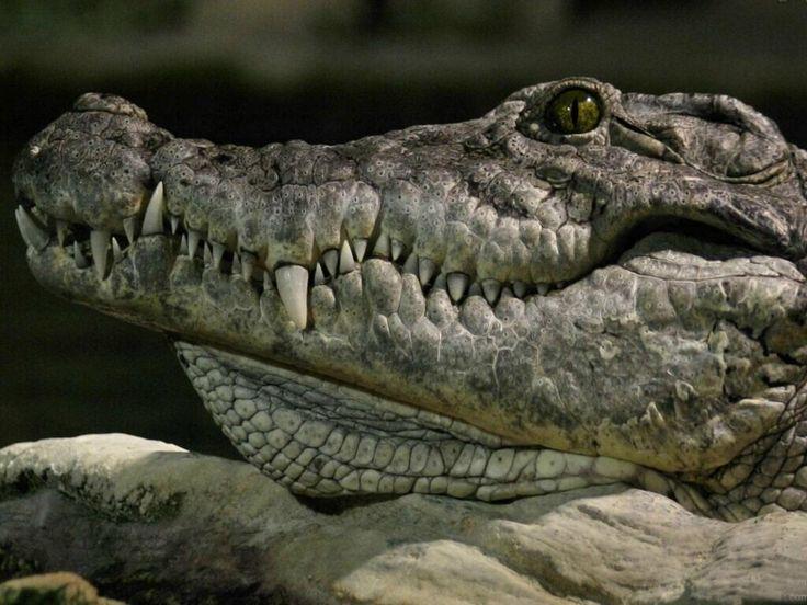 55 besten Crocodile Bilder auf Pinterest | Krokodile, Krokodil und ...