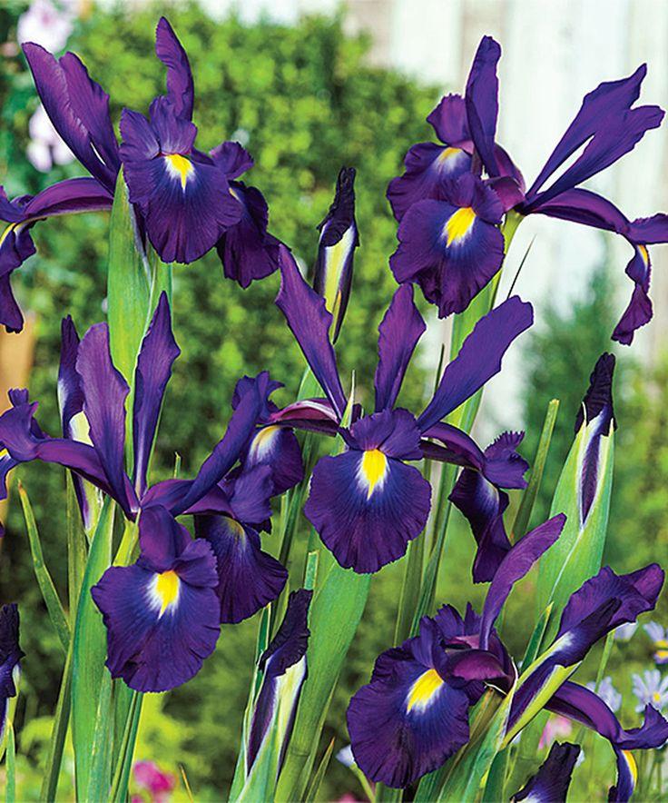 Look at this #zulilyfind! Midnight Passion Dutch Iris Bulb - Set of 50 by Spring Hill Nursery #zulilyfinds