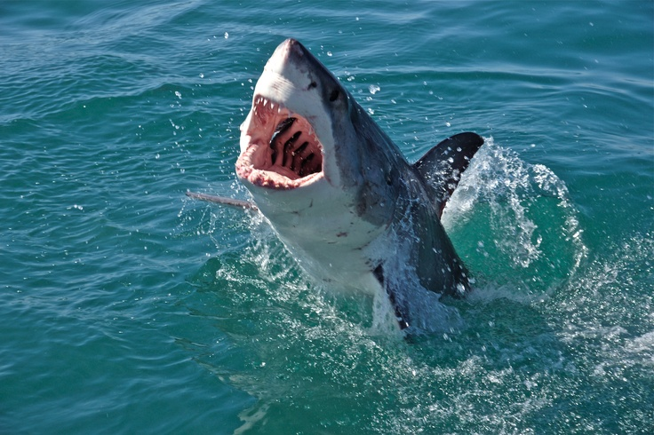 jaws great white shark and steven The shark is the main antagonist of the jaws franchise he is the cannibalistic great white shark bent on killing prey by eating them, because of the hunger drains.